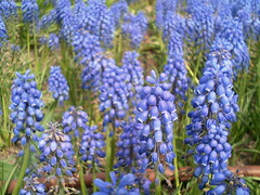 Small violet flowers (tgr728) Tags: flower japan japanese tokyo small violet    shiodome siosite