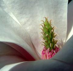 magnolia tree (*LINNY *) Tags: uk pink flowers white flores flower color macro tree nature colors closeup fauna garden ilovenature flora pretty gardening magnolia inside fowers coulor flowerz