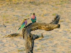 Lilacbreasted Rollers (Makgobokgobo) Tags: africa bird roller riverfront botswana chobe lilacbreastedroller coraciascaudata cnp chobenationalpark coracias coraciascaudatus animalkingdomelite