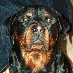 Nero (RottieLover) Tags: dog pet pets black dogs animal animals puppy rottweiler 5bestdogs rottie nero animalplanet rottweilers rotties mrsu samesamebutdifferent animaladdiction