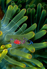 Anemone Shrimp (ScottS101) Tags: color macro nature indonesia ilovenature shrimp diving anemone critters crustacean fins allrightsreserved itsongselection oceanswildlife itsongmacrocosmos ilovetheocean inertebrate itsongnikonn8008s copyrightscottsansenbach2008