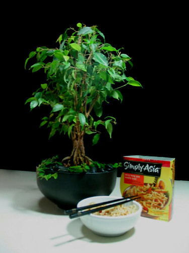 Ficus not bonsai