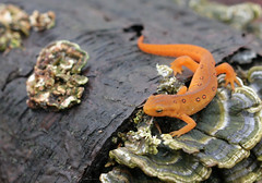 Red Eft - by michaelrighi