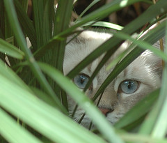 Jungle Watch (lynne bernay-roman) Tags: blue wild cute beautiful cat eyes feline sweet quality adorable kitty jungle curious hiding alert interestingness267 gtaggroup goddaym1 abigfave bestofcats impressedbeauty cat1100 irresistiblebeauty beyondexcellence pet1000 5prettykittycommentsparti alittlebeauty