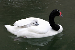 swan boat ride (Dailyville) Tags: ohio tag3 taggedout zoo swan bravo tag2 tag1 cygnet akron boatride babybirds featheryfriday lovephotography dailyville specnature