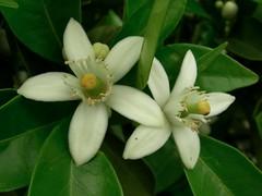 Orange Blossom (jillmotts) Tags: flowers orange white flower blossom citrus orangeblossom jillmotts