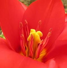 Feuer - fire (multiflora) Tags: flower garden spring tulip tulpe