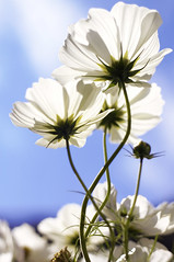 basking (joshi-porgy) Tags: sky flower nature nikon d70 outdoor australia melbourne 2006 pixel apr06 abigfave