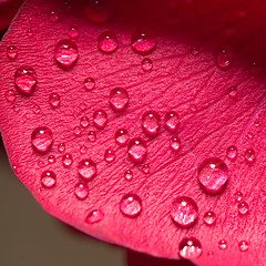 After Storm (olvwu | ) Tags: red flower redflower rose raindrops storm thunderstorm macro spring savannah georgia usa ga 10favs 20favs flickrexplore flickrexploretop100 30favs 500views fcdropletsonplants bestroseshot jungpangwu jungpang oliverwu oliverjpwu olvwu   explored