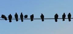 Reunion de palomas 2.0 (* Cati Kaoe *) Tags: sky nature birds animal animals backlight contrast contraluz ilovenature smog cool cable aves pidgeons pidgeon