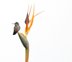 Hummingbird guarding Bird of Paradise blossoms at the Getty (detail) (roddh) Tags: orange flower green topv111 museum canon bravo hummingbird topv1111 center birdofparadise getty pro1 roddh