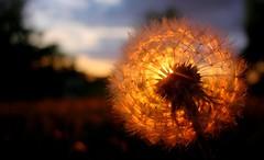 So It Turns Out I Like Dandelions (JaredKS) Tags: been1of100 dandelion kansas 97points photodotocontest1 apexmacro jaredksutatafeature jaredks