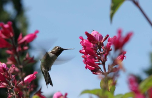Salvia and  hummingbird