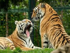 Tigers, Dublin Zoo (C) 2006