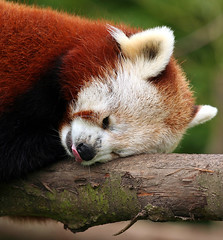 Red Panda, Dublin Zoo (C) 2006