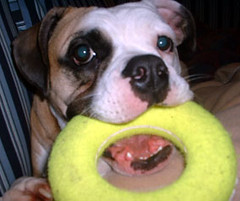 Bella the Bulldog_Pet Sitter Wimberley Texas