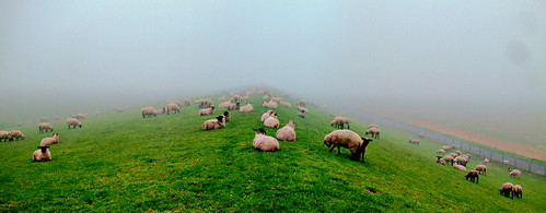 sheeps and fog