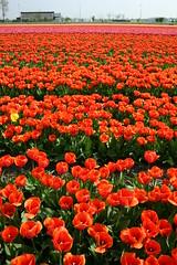 Tulpenvelden rond Noordwijk (Martha de Jong-Lantink) Tags: red orange holland yellow tulips geel rood oranje noordwijk tulpen bollenveld bollenvelden tulpenvelden tulpenveld