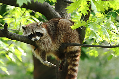 Lazy sunday (Dries Arnolds) Tags: tree amsterdam topv111 zoo branch boom sleepy lazy lui raccoon racoon animalplanet tak artis dierentuin wasbeer slaperig topvaa 123faves specanimal