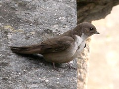 Crag Martin, Tomar (Portugal), 18-Apr-06 (Dave Appleton) Tags: bird portugal birds martin birdsinportugal avesemportugal aves tomar crag eurasiancragmartin hirundine ptyonoprognerupestris passerine conventodecristo cragmartin rupestris ptyonoprogne androinhadasrochas