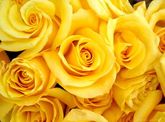 Felz Da de las Madres - Happy Mother's Day (ruurmo) Tags: flowers roses flores macro topf25 beautiful yellow 1025fav ilovenature perfect venezuela awesome blumen 2006 ruurmo caracas casio amarillo lovepeace fiori rosas babel mothersday gorgeus 100v10favs gtaggroup goddaym1