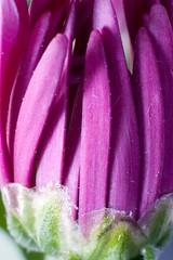 growth (*Hairbear) Tags: flower macro green canon 50mm 300d close purple almost bud canon50mmf18 f18 kenko kenkoextension