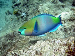 Pesce pappagallo (Scarus sordidus) (Key of Life) Tags: life africa red sea fish uw nature water coral digital mar photo nikon marine paradise mare underwater photos sub redsea dive egypt deep parrot scuba diving el coolpix 5200 aquatic biology rosso sheikh depth pappagallo egitto sharm parrotfish pesce immersioni corallo naturalmente naturesfinest fotosub subacquea wetpixel keyoflife uderwater parkstock scarus underwaterpics specanimal heavybeak fondali pescepappagallo firsttheearth sordidus fotosubacquee naturewatcher coolestphotographers uderwaterphotos
