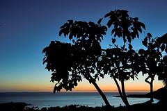 Kou Tree (konaboy) Tags: tree silhouette hawaii bay dusk bigisland kealakekua kona afterglow kou 22296 heythatsnotacoconutpalm