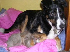 Tess and Alfie (skoop102) Tags: dog pet pets animals guinea guineapig cavies cavy bed guineapigs alf tess cuddles doggie tessie alfie