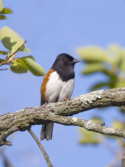 Eastern Towhee (J Gilbert) Tags: newjersey greatswamp easterntowhee 50v5f animaladdiction easternnorthamericannature