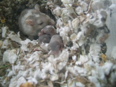 may 009 (pretty-kitty) Tags: favorite gerbil babies