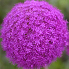 allium giganteum (-Merce-) Tags: pink plants naturaleza flower color colour macro nature topv111 closeup catchycolors interestingness plantas purple flor rosa squaredcircle allium catchycolorspink interestingness52 i500 eligetucolor mmbmrs