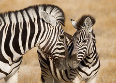 Motherly Affection (Andrew Luyten) Tags: africa geotagged desert safari zebra namibia etosha interestingness115 i500 keadventure specanimal geo:lat=18911 geo:lon=163511