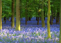 Ashridge bluebells - at dusk - by Today is a good day