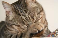 Stupido Righe (valefranz) Tags: pet cats pets animal animals cat nose fat clean stupid felino felini gatto gatti righe micio mici grasso stupido tigrato animalidacompagnia