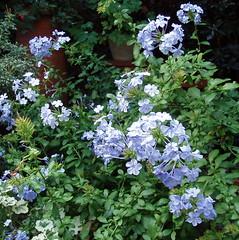 plumbago (polkadotsoph) Tags: flowers plumbago