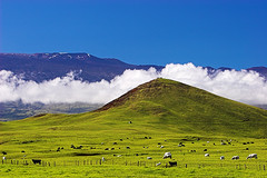 The Easy Life (konaboy) Tags: grass hawaii cows sassy lucky bigisland grazing maunakea manaroad 21794b