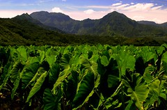 Hanalei Taro (ONE/MILLION) Tags: travel flowers vacation sky food plants signs mountains color green love nature beautiful clouds landscape outdoors island hawaii islands photo google search interesting colorful flickr paradise locals image farmers spirit farm unique wildlife events blossoms roots culture lifestyle tags visit poi kauai hawaiian tropical shaka species crops growing blooms oceans tours aloha tropics staple pains onemillion islandstyle williestark endangeered