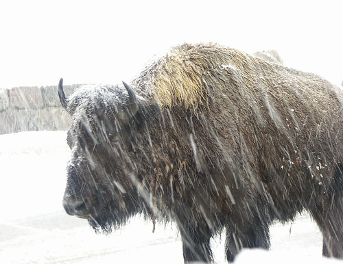 Bison At 10 Feet In Snow Storm by Tut99 (Roger).