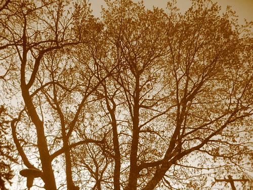 Tree, sepia