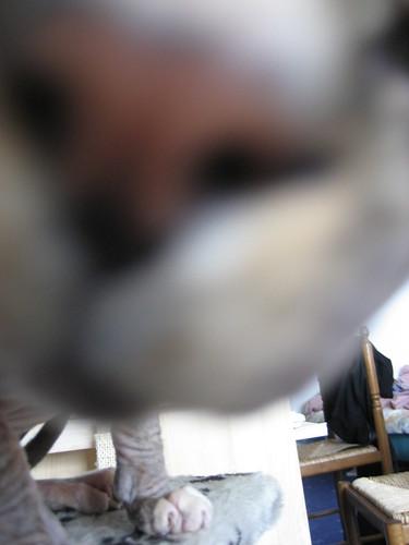 sphynxcat