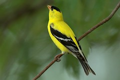 American Goldfinch (Momba (Trish)) Tags: bird ilovenature nikon nikond70 tennessee goldfinch nikkor americangoldfinch carduelistristis momba 80400mmf4556dvr interestingness486 i500 nikonstunninggallery explore29may2006