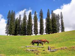 UpCountry Maui (Haiku Heidi) Tags: trees horse hawaii peace meadow maui upcountry cookpines haikuheidi
