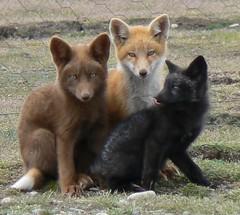 The Little Foxes (sea turtle) Tags: fox kits washingtonstate foxes facebook silverfox sanjuanisland redfox americancamp babyfoxes abigfave foxkits wstww07 wildcaninephotography