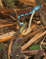 """A pair of mating Common Blue Damselfl(5) • <a style=""""font-size:0.8em;"""" href=""""http://www.flickr.com/photos/57024565@N00/162949379/"""" target=""""_blank"""">View on Flickr</a>"""