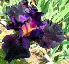 Detroit Zoo Irises (Maia C) Tags: flowers iris flower outdoors nikon michigan irises comment detroitzoo purplegreen maiac lovephotography