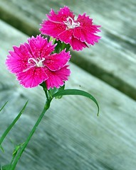 Petite'n Pink (JojoDee) Tags: pink flower tag3 taggedout tag2 tag1 dianthus carnation frilly 4seasons explored