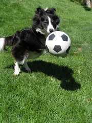 more border collie 1