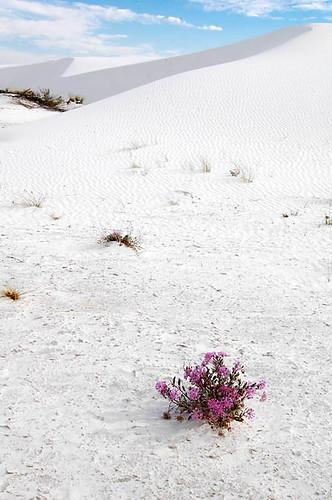 pink usa flower desert dunes dune sanddune whitesand sandverbena desertflower abroniavillosa usnationalparks pinkonwhite