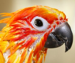 Ollie has pin feathers!  (Happy Feathery Friday Start Bird!!) (Ollie girl) Tags: orange bird wet girl yellow parrot ollie conure sunconure wetpet pinfeathers featheryfriday featheryfriday1 specanimal